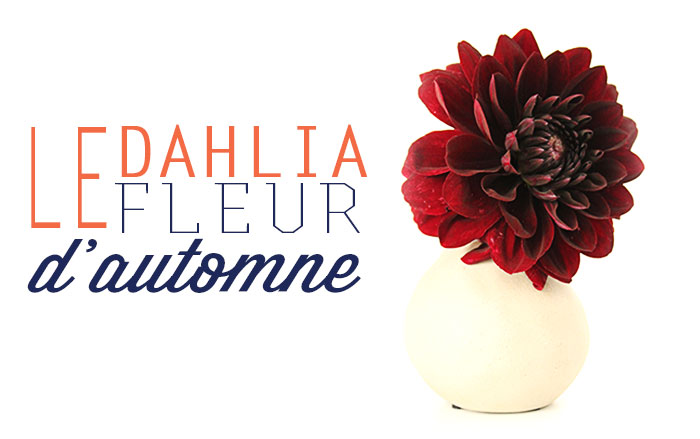 dahlia-fleur-automne-mademoiselle-claudine